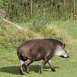 Un tapir de dos dans l'herbe au parc animalier Le PAL