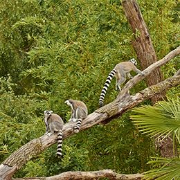 Plusieurs Maki Catta sur une branche d'un arbre au parc animalier Le PAL en Auvergne