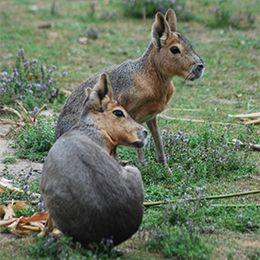 Deux maras de profil sur l'herbe au parc zoologique Le PAL dans l'Allier