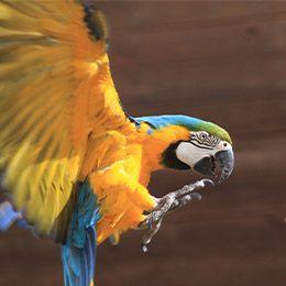 Un ara bleu en vol au parc animalier Le PAL