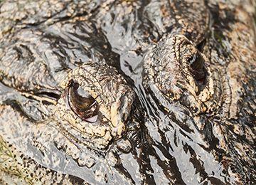 Les yeux d'un alligator du zoo Le PAL