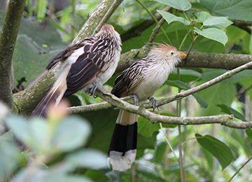 Deux  Guira Cantara dans un arbre au parc animalier Le PAL