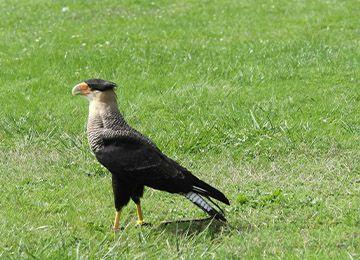 Un Caracara huppé dans l'herbe au zoo Le PAL