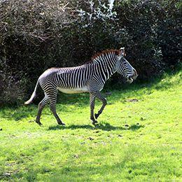 Zébre de Grévy qui marche dans l'herbe au zoo Le PAL dans l'Allier