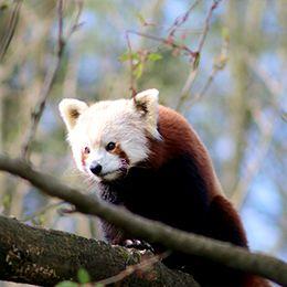 Un panda roux grimpant sur une branche au zoo Le PAL