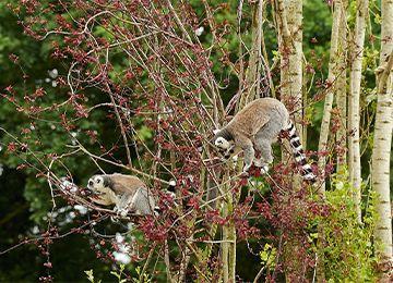 Deux Maki Catta dans un arbre se nourrissant de fleurs au parc animalier Le PAL