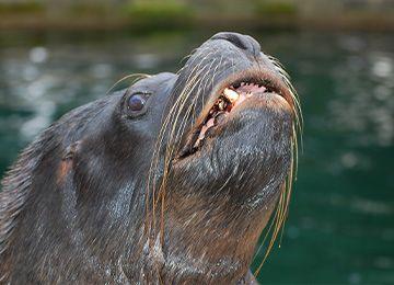 Une otarie montrant ses dents au zoo Le PAL