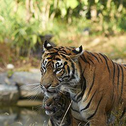 Un tigre pensif au zoo Le PAL