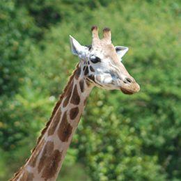 La tête et le cou d'une girafe au zoo Le PAL