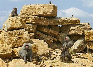 Un groupe d'Hamadryas occupant des rochers au parc animalier Le PAL