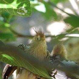 Gros plan sur la tête d'un Guira Cantara au par animalier Le PAL