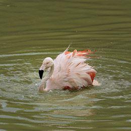 Flamant du Chili qui nage au parc Le PAL dans l'Allier