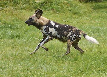 Un Lycaon qui court au zoo Le PAL en Auvergne