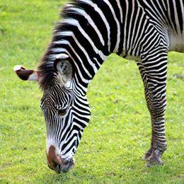 Zébre de Grévy qui broute au parc animalier LE PAL