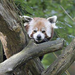 Un panda roux dans les arbres au parc animalier Le PAL