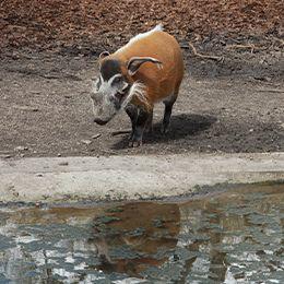un potamochère au bord de l'eau au parc animalier Le PAL dans l'Allier