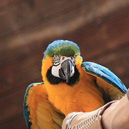 Un ara bleu de face au parc animalier Le PAL