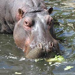 Hippopotame mangeant de la salade dans le lac du zoo Le PAL