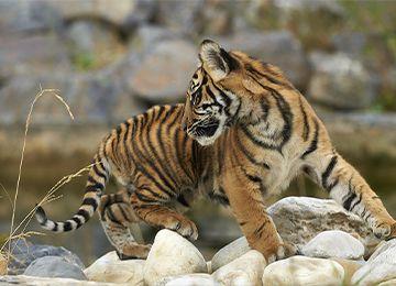 Un tigre regardant derrière lui au zoo Le PAL