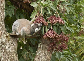 Un Maki Catta cherchant sa nourriture dans une fleur au zoo Le PAL