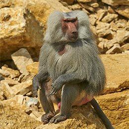 Un Hamadryas assis sur un rocher au zoo Le PAL dans l'Allier