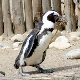 Un Manchot qui mange au parc animalier Le PAL