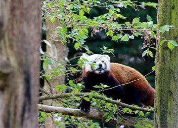 Une femelle panda roux au zoo Le PAL