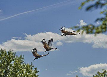 Trois grues couronnées en plein vol au parc animalier Le PAL