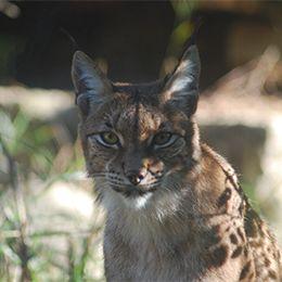 Gros plan sur un Lynx d'Europe au parc animalier Le PAL dans l'Allier