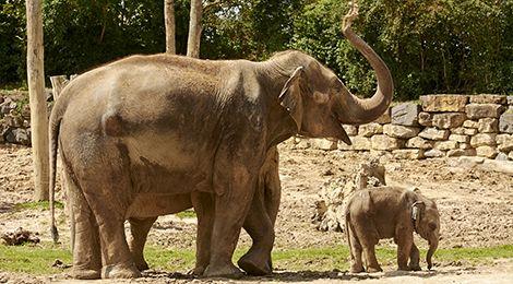 Animation pédagogique des éléphants d'Asie