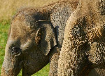 Deux têtes d'éléphants du parc animalier Le PAL