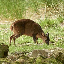 Muntjac de Reeves qui mange de l'herbe au zoo Le PAL dans l'Allier