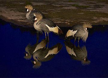 Trois grues couronnées qui se reflètent dans l'eau au parc animalier Le PAL dans l'Allier
