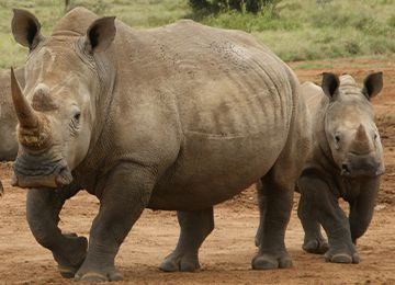 Deux rhinocéros blancs  dont un petit, au parc animalier Le PAL au cœur de l'Auvergne
