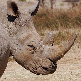 Gros plan sur la tête d'un rhinocéros blanc au parc Le PAL dans l'Allier