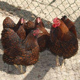 Quatre poules  Wyandottes aux jolies plumes au zoo Le PAL en Auvergne
