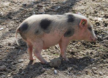 Gros plan petit cochon nain au zoo Le PAL dans l'Allier