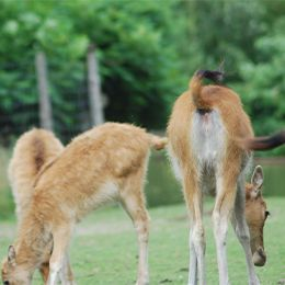 Vue sur des petits cerfs du père David au zoo Le PAL