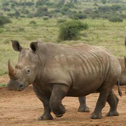 Vue sur un rhinocéros blanc qui marche sur un chemin de terre au zoo Le PAL