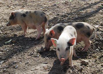 Vue sur trois petits cochons nains aux taches noires au parc animalier Le PAL