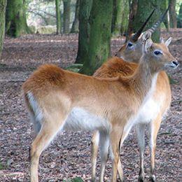 Deux cobes de Lechwe debout dans la forêt au zoo Le PAL au cœur de l'Allier