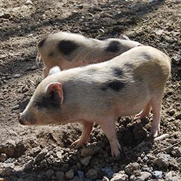 Deux petits cochons nains aux taches noires au parc animalier Le PAL en Auvergne