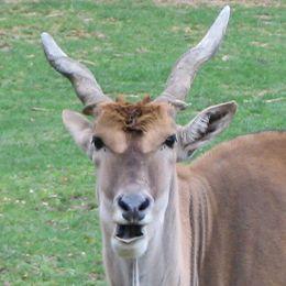 Gros plan sur un éland du Cap au parc animalier Le PAL dans l'Allier