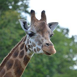 Ela, girafe de Rothschild du PAL en Auvergne