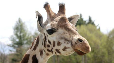 Ela, notre girafe de Rothschild