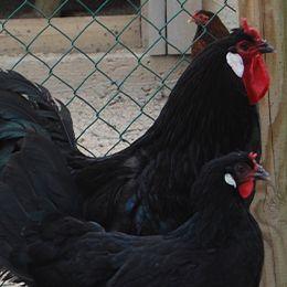 Gros plan sur deux poules de la Flèche au parc animalier Le PAL dans l'Allier