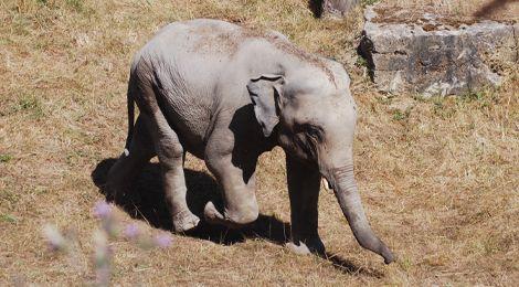 Tom, notre éléphant d'Asie