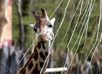 Ela, girafe de Rothschild qui mange les branches d'arbres du PAL