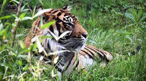 Taru, notre tigre de Sumatra