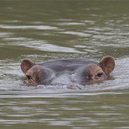 Tête d'hippopotame sortant de l'eau du lac du parc animalier Le PAL